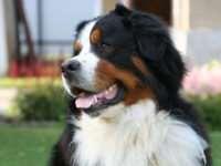 Бернский зенненхунд — идеальная собака для семьи с маленькими детьми
