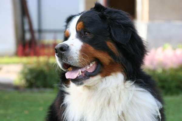 Бернский зенненхунд   идеальная собака для семьи с маленькими детьми