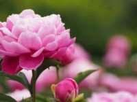 Пионы – главные правила выращивания на участке