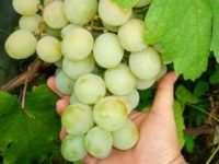 Характеристики, присущие винограду Кеша, рекомендации по его выращиванию
