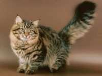 Особенности характера сибирских кошек