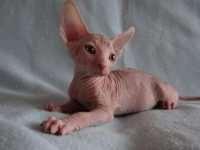 Где можно купить котенка породы Сфинкс?