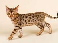 Бенгальская кошка – миниатюрный домашний леопард