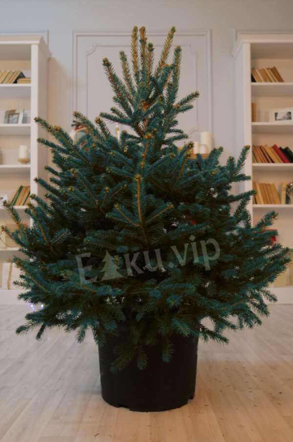 Живые елки по доступной стоимости